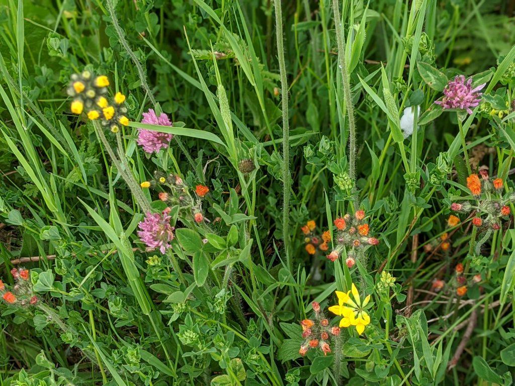 MN wildflowers