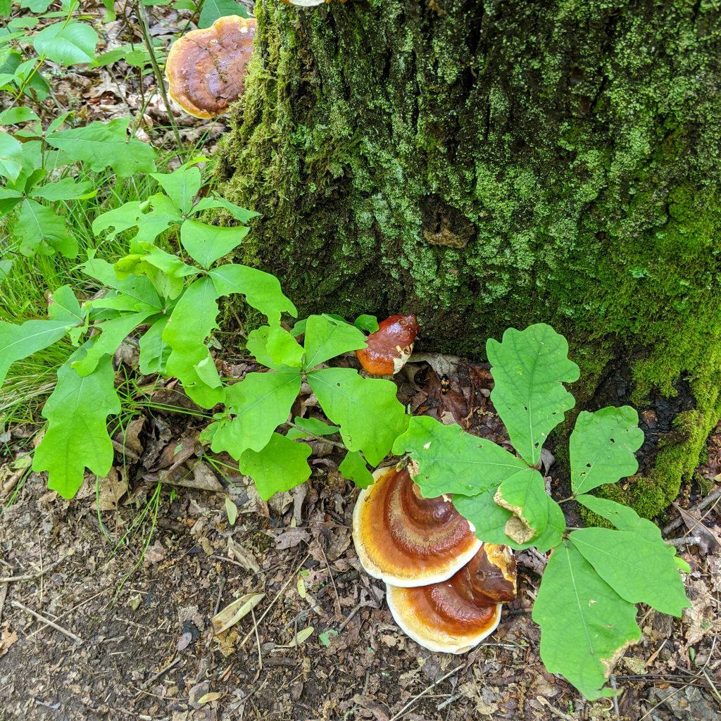 wild mushrooms and oak leaves