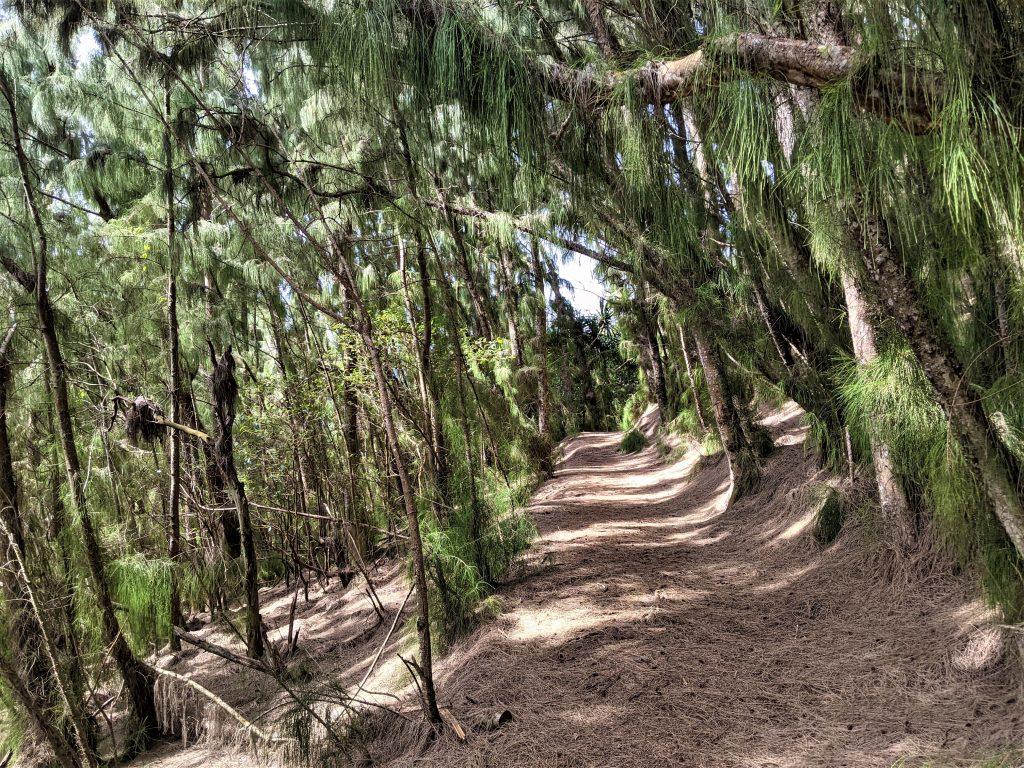 Australian pine forest